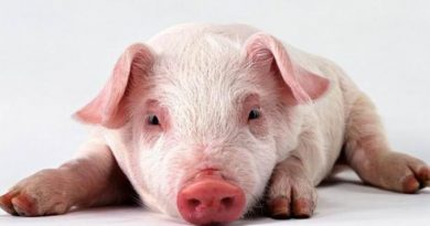 pourquoi les musulmans ne mangent pas de porcs